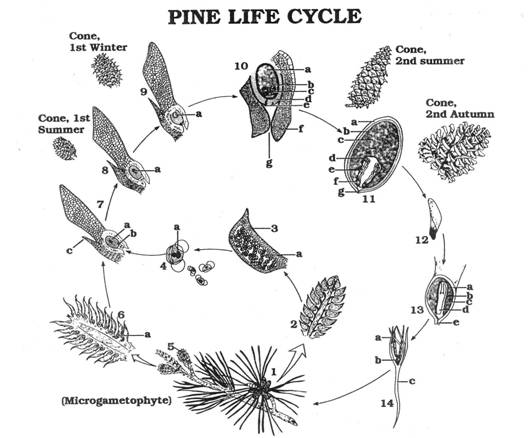 GYMNOSPERMS%20%20Pine%20cones%20lab on Parts Of A Seed Worksheet