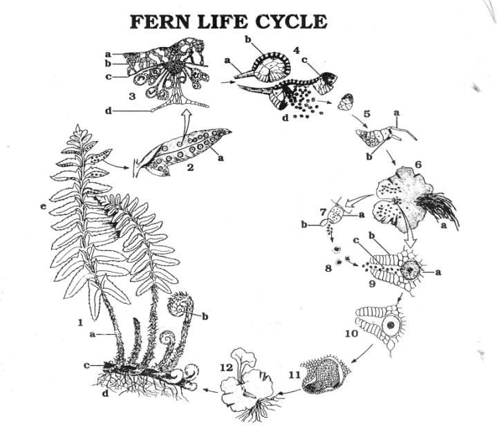 Whisk Fern Diagram