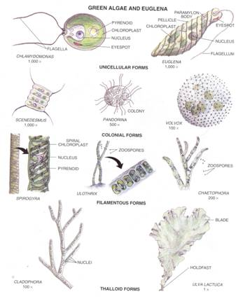 Kingdoms archaea bacteria and protista division rhodophyta ccuart Images