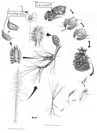 gymnosperm lab seed structure diagram pine