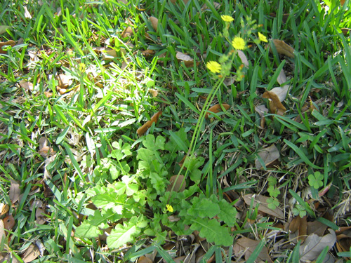 Eweeds broadleaf plantain plantago rugelii and plantago major a perennial rosette reproducing from seed leaves are large rounded and deeply veined with wavy mightylinksfo