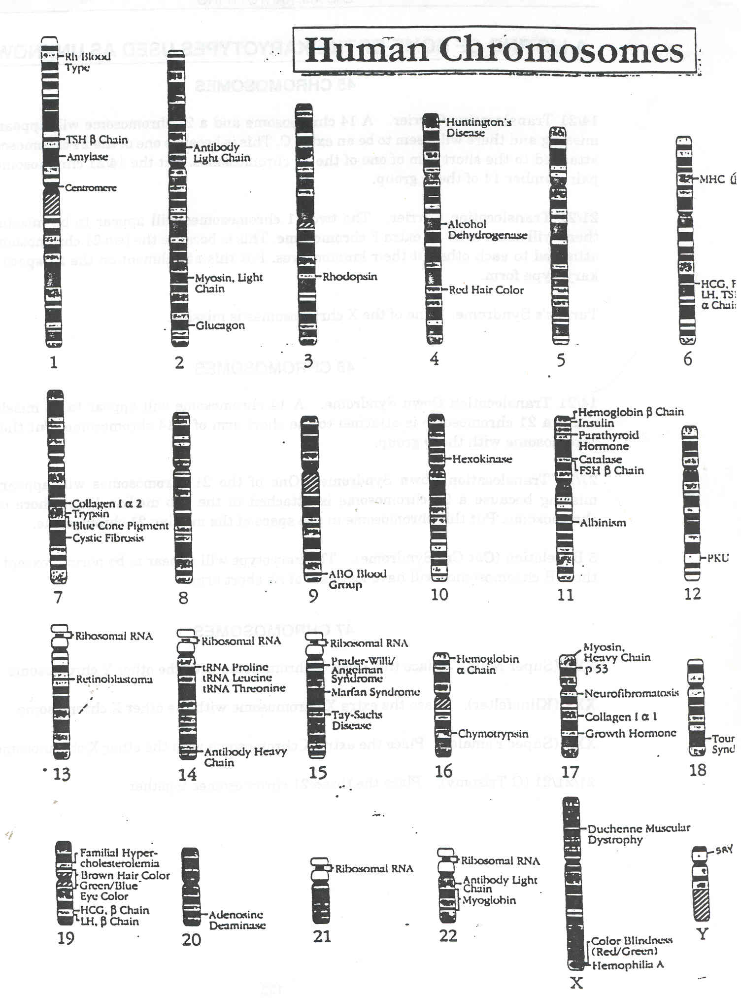 Karyotyping – Chromosome Worksheet
