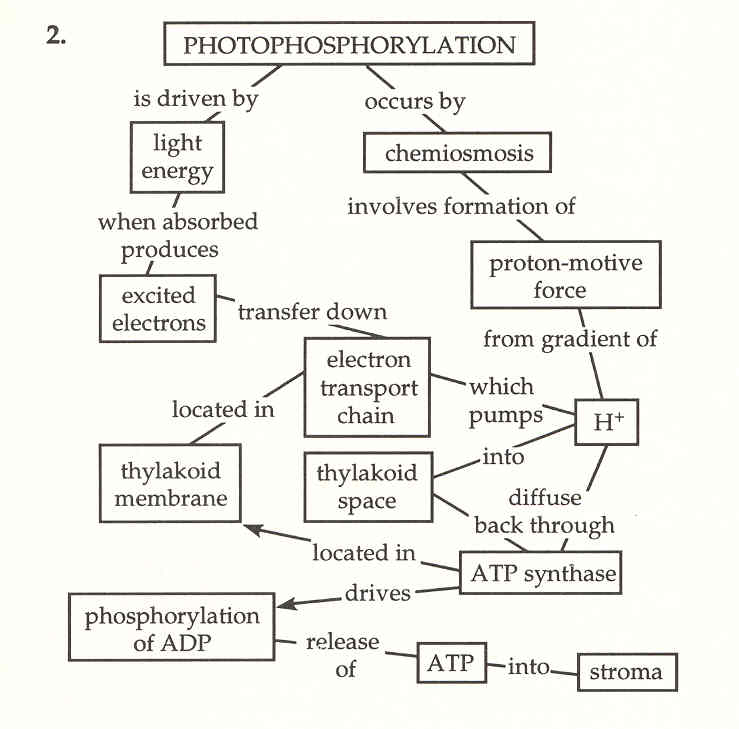 steps in photosynthesis Photosynthesis is a chemical process by which plants, some bacteria, and algae convert energy derived from sunlight to chemical energy this is an important process.